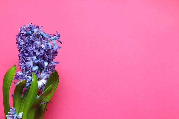 Purpurrote hyazinthenblüte mit grün verlässt auf rosa hintergrund mit kopienraum.