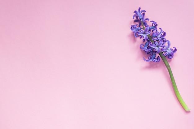 Purpurrote hyazinthenblume auf pastellrosa-steigungshintergrund. flache lage, draufsicht, kopienraum