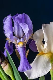 Purpurrote iris auf schwarzem hintergrund