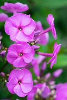 Purpurrote klematis blühen im garten an einem sonnigen tag des sommers.