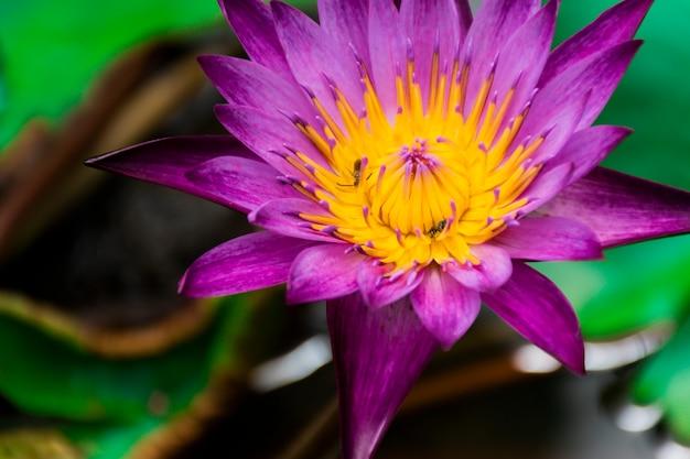 Purpurrote lotosblumen und gelbe staubgefässe. im teich mit lotusblättern herum.