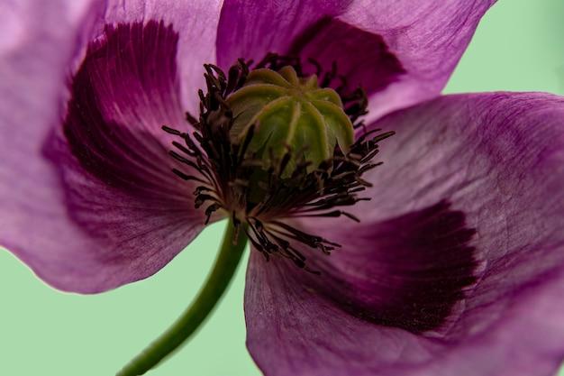 Purpurrote mohnblume auf grünem abschluss oben. hintergrund