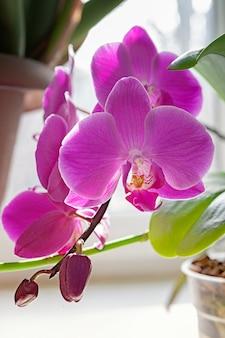 Purpurrote orchideenblütenblume exotische houseplantblüte.