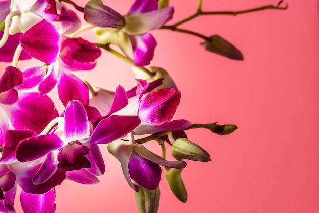 Purpurrote orchideenblume auf buntem rosa hintergrund, atelieraufnahme.