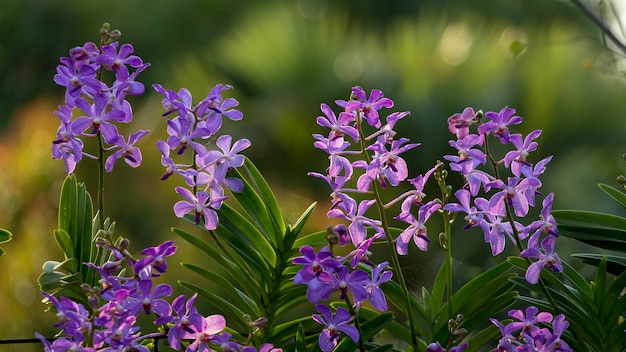 Purpurrote orchideenblume im garten