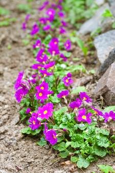 Purpurrote primeln (primula vulgaris) im frühjahr