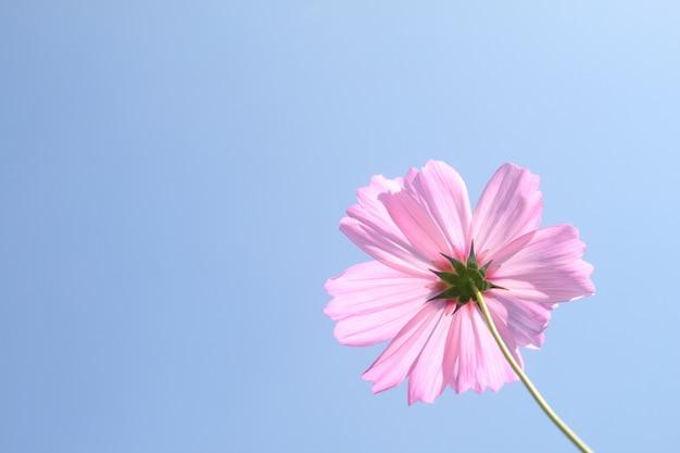 Purpurrote rosa kosmosblume im garten auf hintergrund des blauen himmels