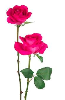 Purpurrote rosenblume lokalisiert auf weißer oberfläche