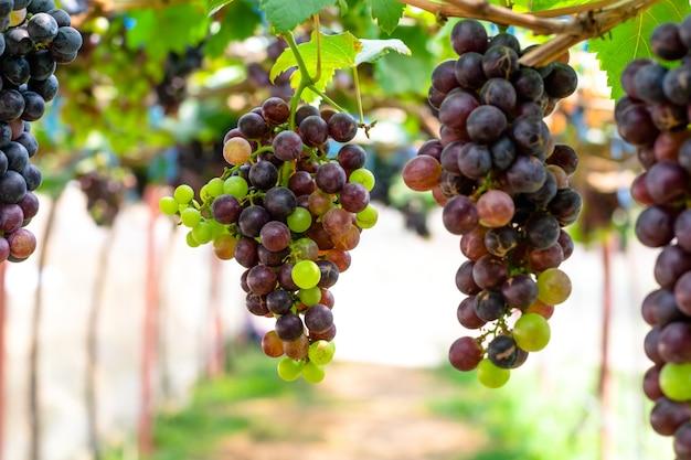 Purpurrote rote trauben mit grünen blättern auf dem wein
