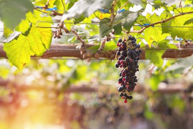 Purpurrote rote trauben mit grünen blättern auf der rebe. frisches obst auf dem bauernhof