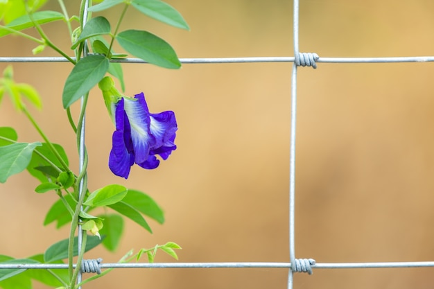 Purpurrote schmetterlingserbsenblume, die auf metalldrahtzaun wächst