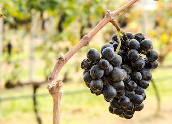 Purpurrote Traubenweinherstellung