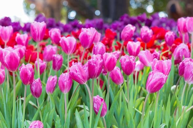 Purpurrote tulpe im garten.