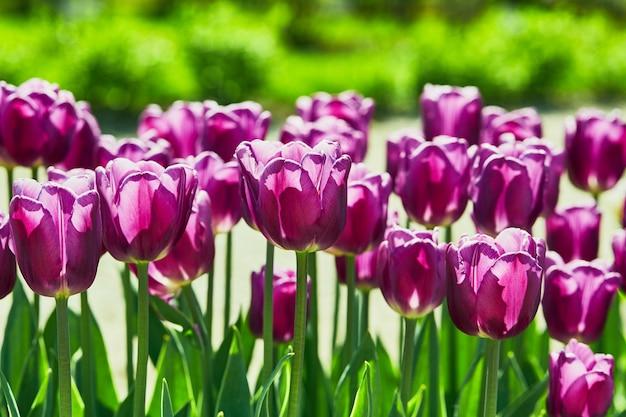 Purpurrote tulpen im garten. blumen.