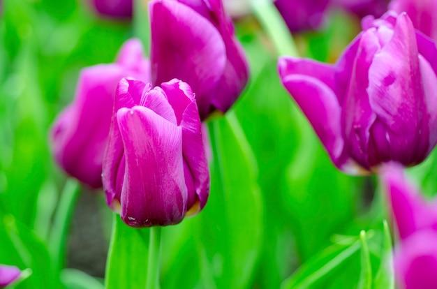 Purpurrote tulpen mit unscharfem musterhintergrund