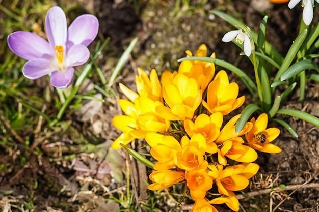 Purpurrote und gelbe krokusse keimen im frühjahr im garten. symbol des frühlings.