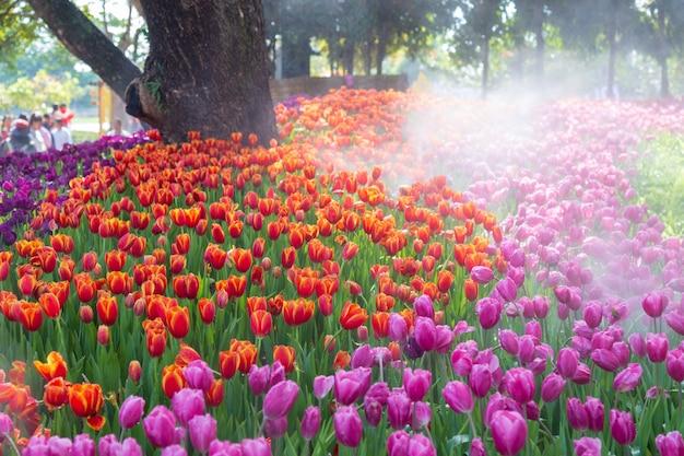Purpurrote und orange tulpe im garten.