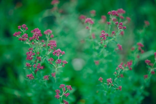 Purpurrote violette blumen oregano origanum vulgare auf natur