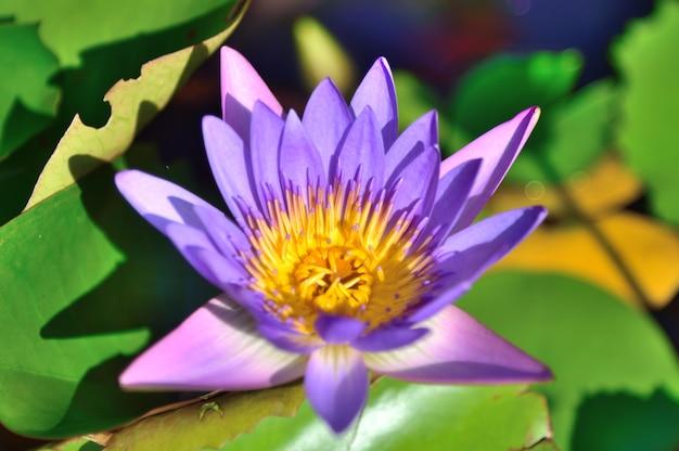 Purpurroter lotos in der natur auf blattlotoshintergrund