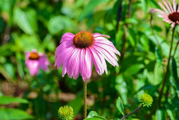 Purpurroter sonnenhut (echinacea purpurea) ist eine beliebte pflanze, um die honigbiene anzuziehen