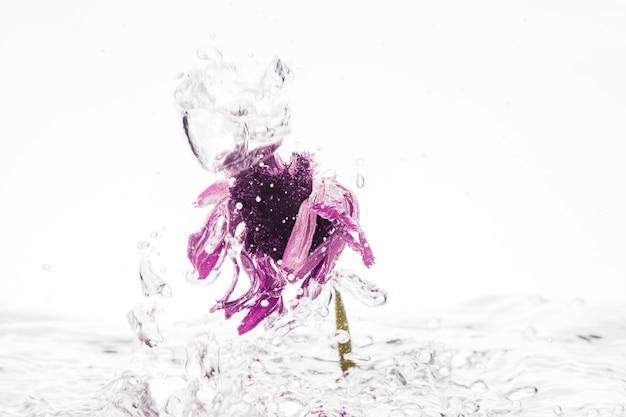 Purpurrotes gänseblümchen, das in wasser fällt