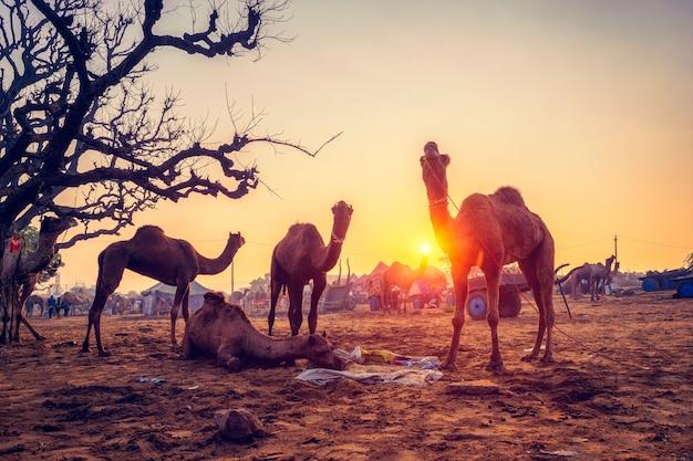 Pushkar mela camel fair festival im feld essen kauen bei sonnenuntergang. pushkar, rajasthan, indien