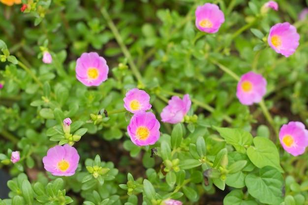 Pussley-blume oder moos rose