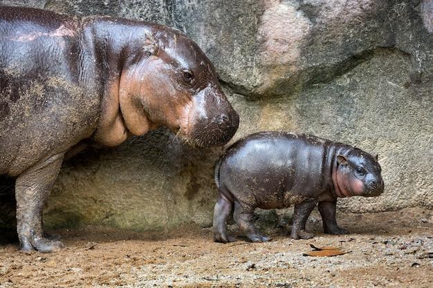 Pygmäenflusspferd der mutter und des babys in der atmosphäre der natur.