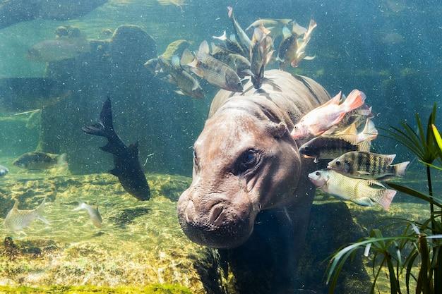 Pygmy flusspferde unter wasser