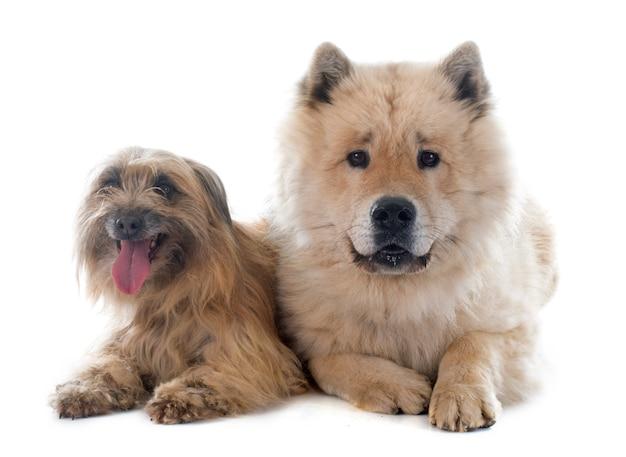 Pyrenäen-schäferhund und eurasierhund