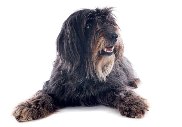 Pyrenäen-schäferhund