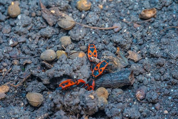 Pyrrhocoris apterus frühlingspaarungszeit