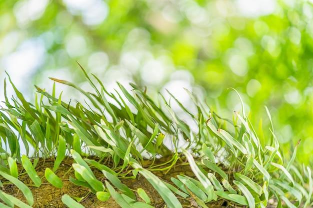 Pyrrosiafarn auf baum im regenwald