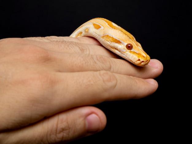 Python molurus bivitattus ist eine der größten schlangenarten.