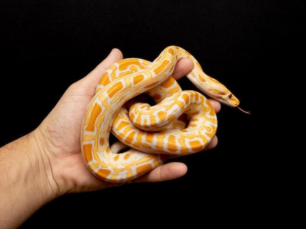 Python molurus bivitattus