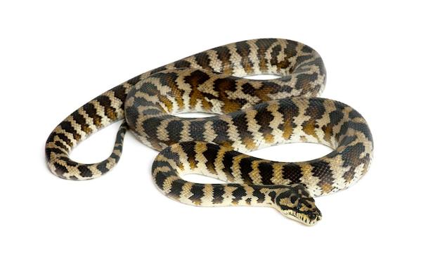 Python, morelia spilota variegata, schwarz und gelb, gegen weiße oberfläche