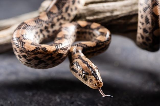 Pythonschlange mit der zunge raus im studio.