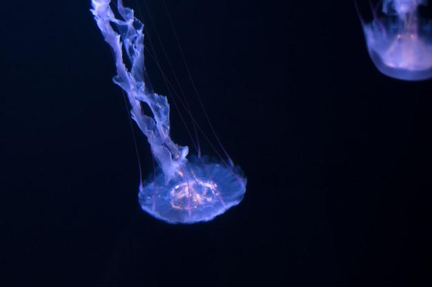 Quallen, die auf einen schwarzen hintergrund schwimmen