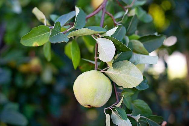 Quitte am ast. bio-äpfel der natürlichen quitte auf baum für den herbst. quitte im rustikalen garten. ein apfel auf einem baum in einem herbstgarten in der herbstsaison. erntekonzept. vitamine, vegetarismus, früchte.