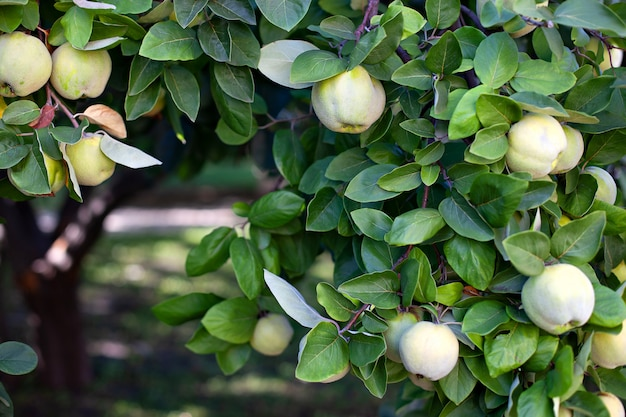 Quitte wächst auf baum in einem bio-garten. erntekonzept. vitamine, vegetarismus, früchte. quitten. speicherplatz kopieren. reife quittenfrüchte wachsen im spätherbst auf einem quittenbaum mit grünem laub. apfelbaum