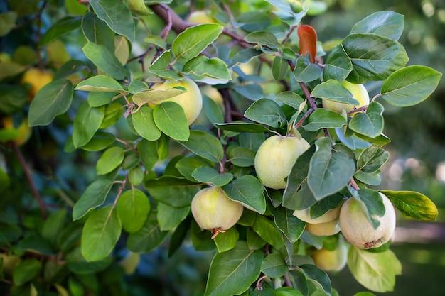 Quittenherbst, quittenernte im herbstgarten. anbau von bio-früchten auf dem bauernhof. reife quittenfrucht wächst auf einem quittenbaum mit grünem laub in einem öko-garten. äpfel hängen an einem ast