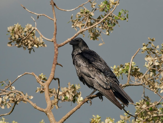Rabe (corvus corax)