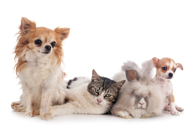 Rabit, katze und chihuahua