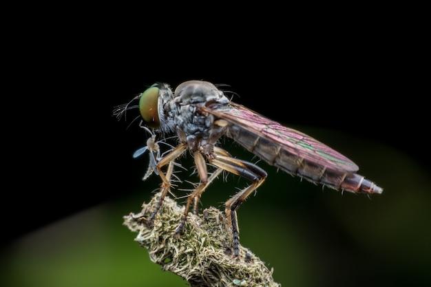 Räuberfliege, die fliege isst