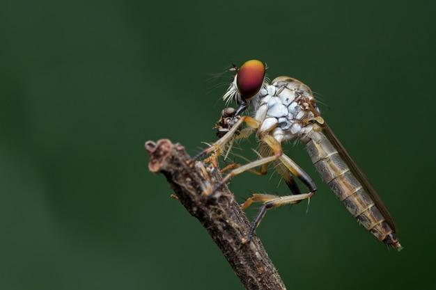 Räuberfliege und opfer in der natur