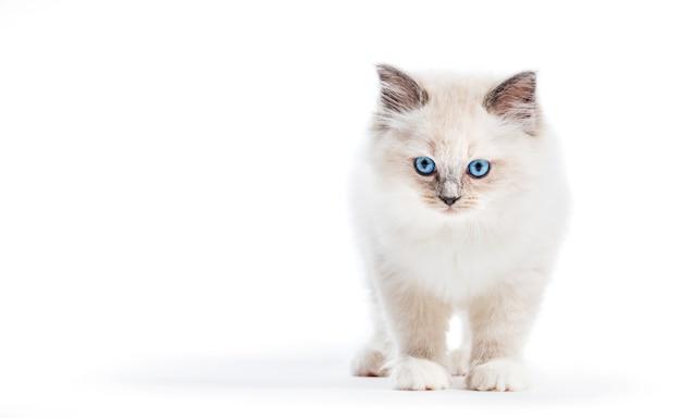 Ragdoll katze, kleines kätzchenporträt auf weißem hintergrund