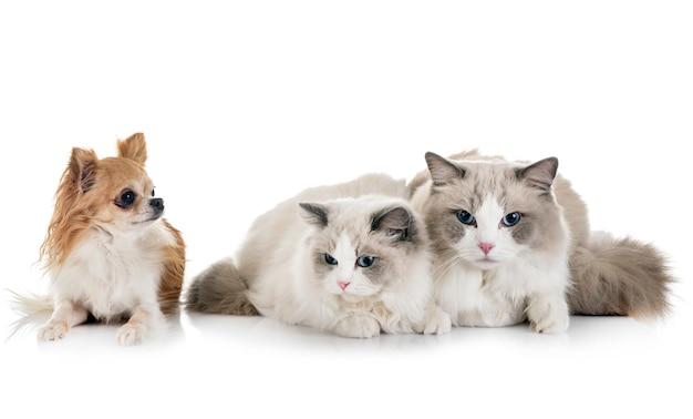 Ragdoll-katzen und chihuahua