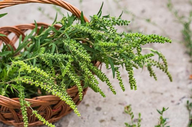 Ragweeds, ambrosia, bursages, burrobrushes in der blumenwiese auf dem gebiet
