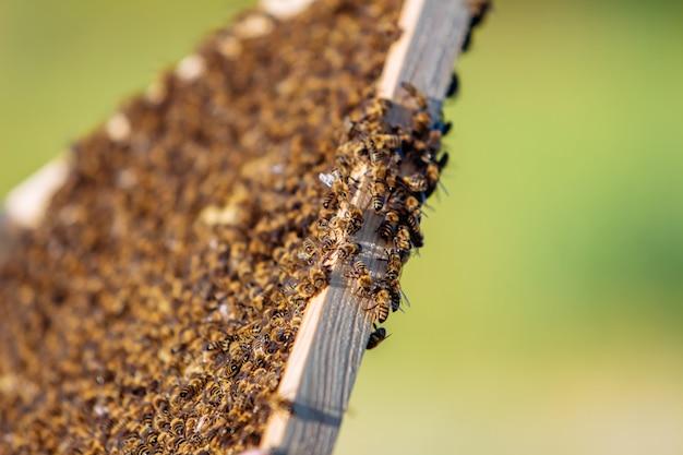 Rahmen eines bienenstocks. fleißige bienen im bienenstock mit offenen und versiegelten zellen für süßen honig. bienenhonig in waben gesammelt. nahaufnahme von bienen auf waben im bienenhaus. selektiver fokus.