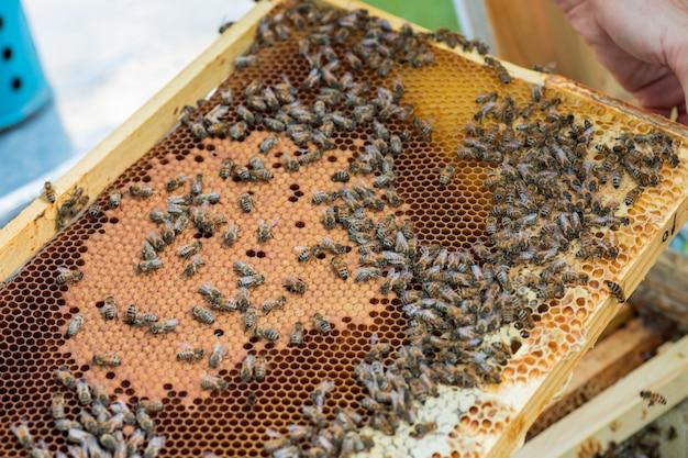 Rahmen mit honigbienen, offener und versiegelter brut und honig.